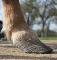 pied de cheval fourbu