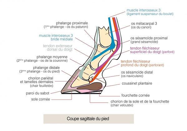 coupe sagittale du pied, phalange, os naviculaire, tendons cheval