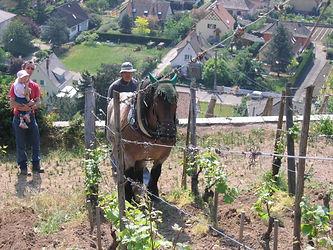 Jument Ardenaise, pieds nus qui travail la terre dans les vignes d'Alsace.