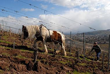 Labour dans les vignes avec une jument Irich Cob pieds nus.