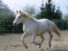 Détente d'un cheval pieds nus dans une carrière en sable