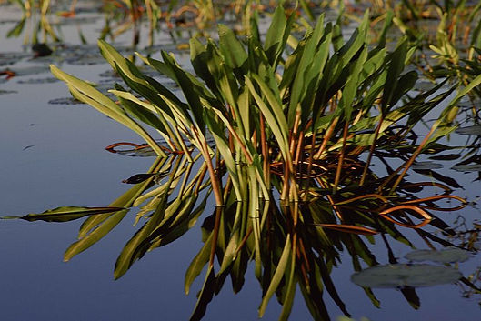 800px-A_close_view_of_wetland_vegetation