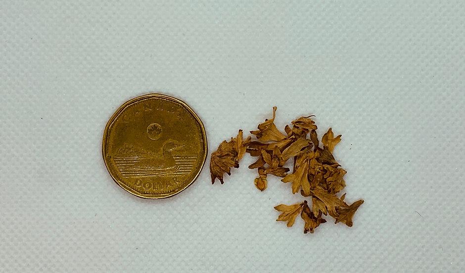 Betula alleghaniensis - Yellow Birch