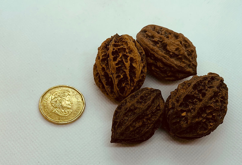 Juglans mandshurica -Manchurian Walnut