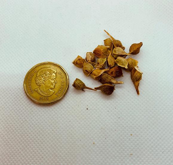 Acer grandidentatum - Big tooth Maple