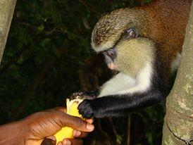 Tafi Monkey