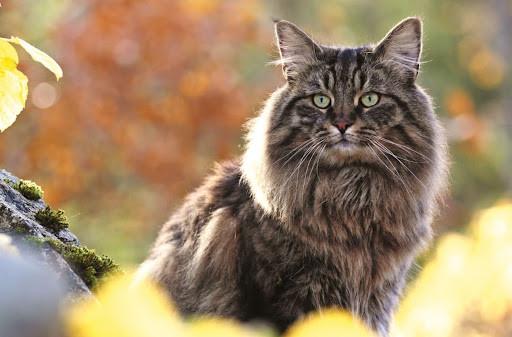 Norueguês da Floresta, o gato dos vikings