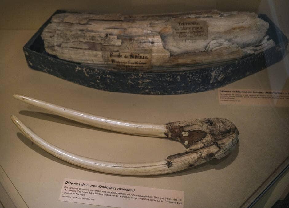 Um museu de Le Mans, França, exibirá presas de morsa com runas vikings