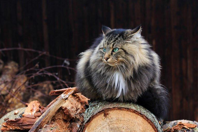 Gatos, os animais de estimação preferidos dos vikings