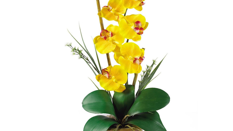 Single Orchid Plant