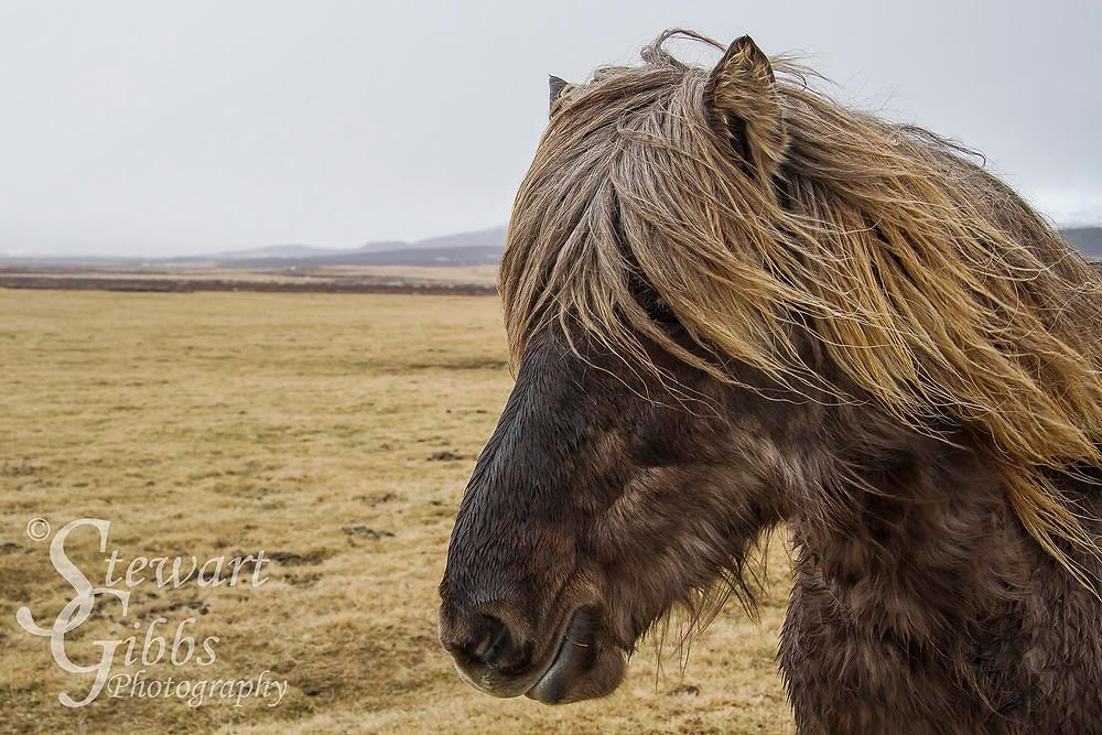Icelandic Pony.jpg