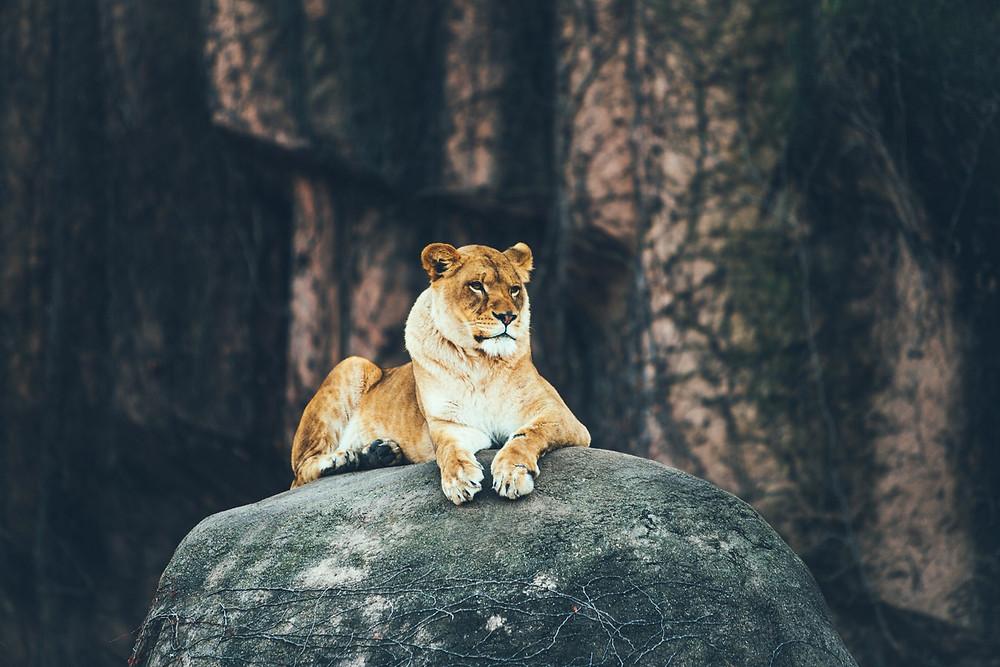 A lion resting on a rock.