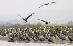 Brown Pelicans 4