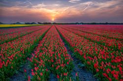 Tulip's carpet