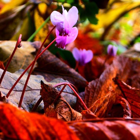 Hedo, Cyclamen parmi les feuilles, Etroussat, automne 2018.