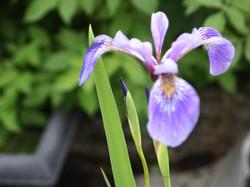 Iris d'eau, 2.