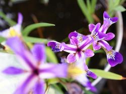 Iris d'eau, 3.