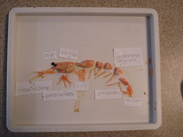 Dissection of prawn with Tracy Allen