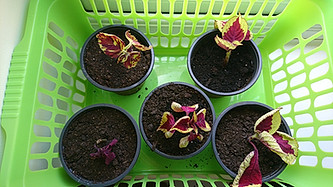 Cloning plants