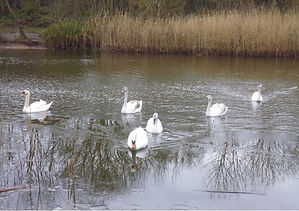 Tranquility-Swans-at-Stonebow-Washlands.
