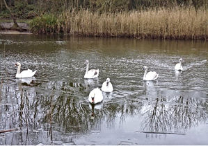 Tranquility-Swans-at-Stonebow-Washlands.