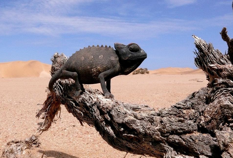 Living Desert Adventures Chameleon