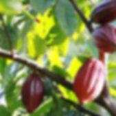 bigtreefarms_cacao 2