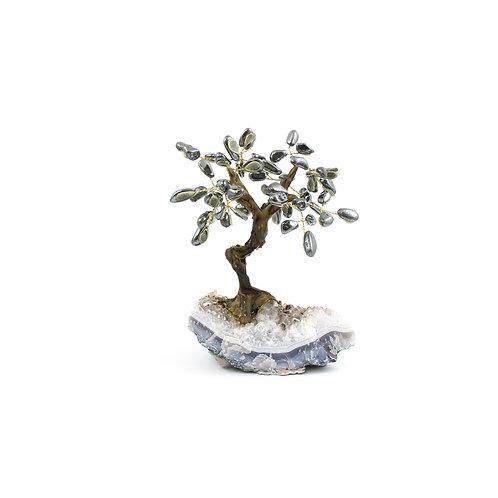 Medium (18cm) | Bonsai Trees