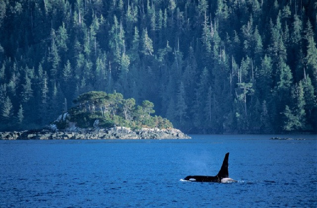 BC省海岸附近的虎鲸
