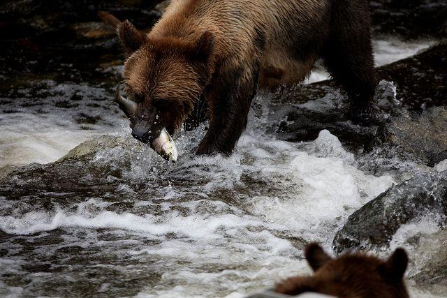 夏季到温哥华岛来看熊!观鸟!