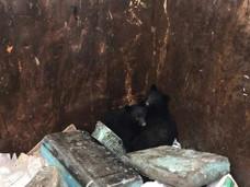 温哥华岛温情一刻:熊孩子掉到垃圾桶里!如何对待居民区里的熊