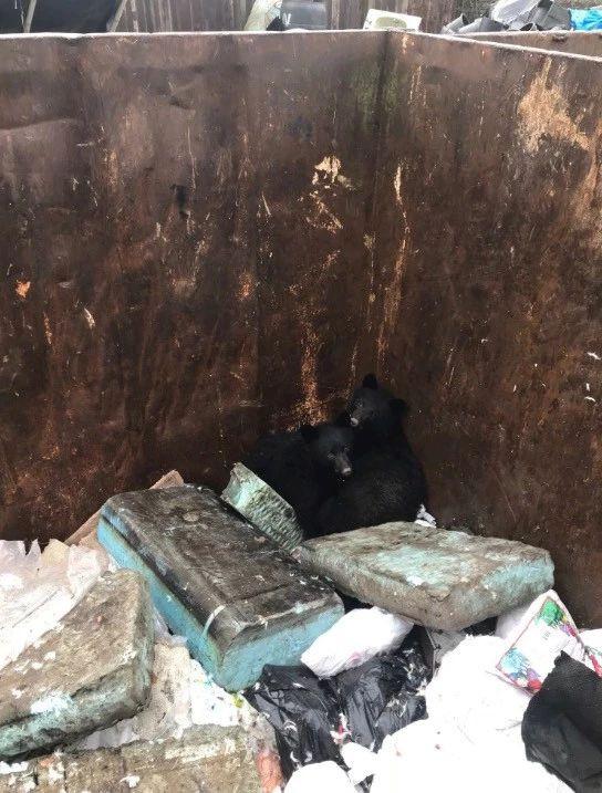 温哥华岛垃圾箱里的小黑熊。