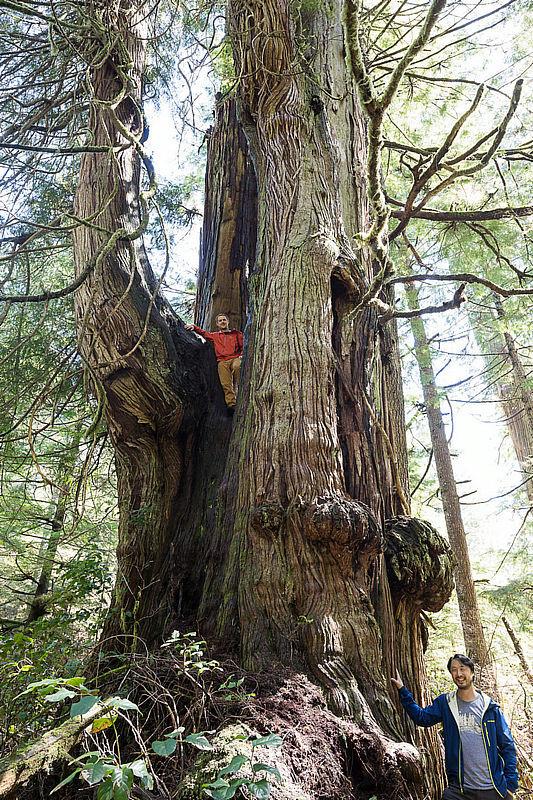 温哥华岛侏罗纪树林内的巨大红杉。