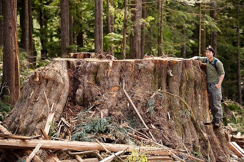 温哥华岛上只剩下树桩的古树。