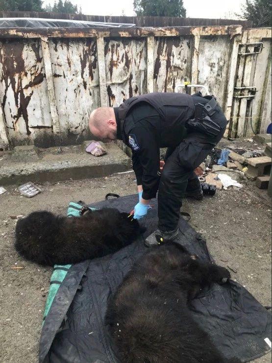 温哥华岛动保官员对小黑熊实施麻醉后进行救援。
