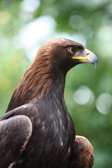 温哥华岛上的鹰