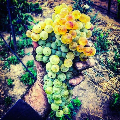 Chardonnay recien cosechada Vinícola Torres Algre