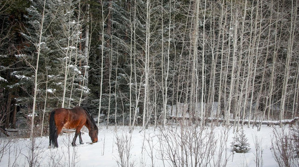 Advocate wants protection for Alberta wild horses