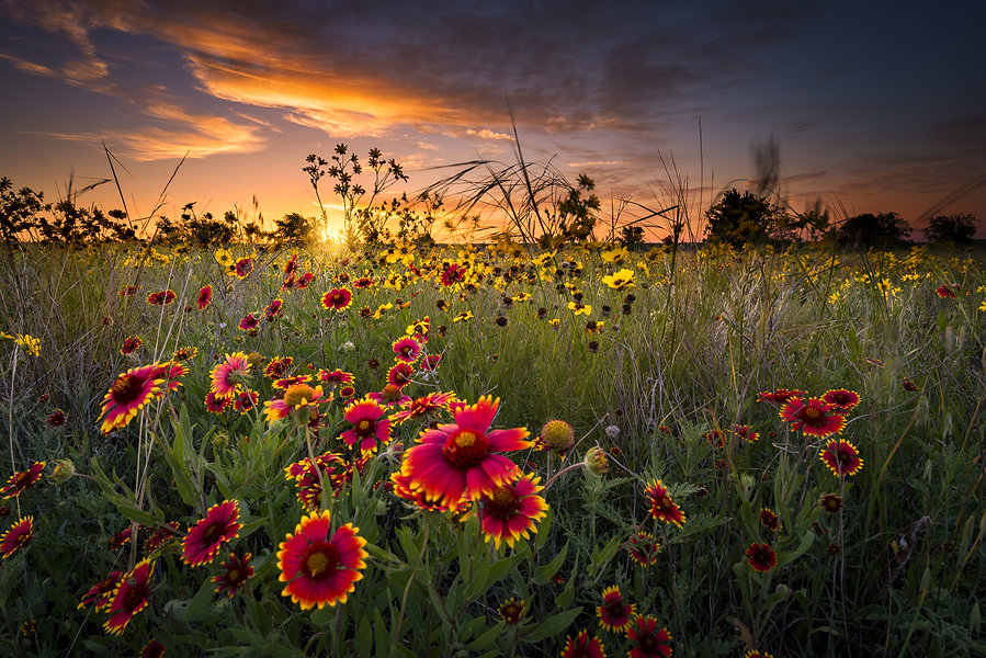 Sunflowers and Indian blanket wildflower