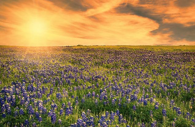 Texas Bluebonnet field blooming in the s