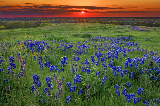 Texas pasture filled with bluebonnets at