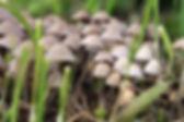 psilocybin_mushrooms_092618.jpg
