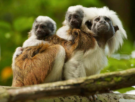 El Palmar del Tití: Protecting the habitat of the cotton-top tamarin