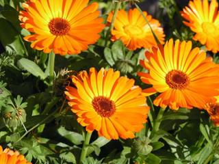 15 Plantas para repeler Plagas de nuestro Huerto