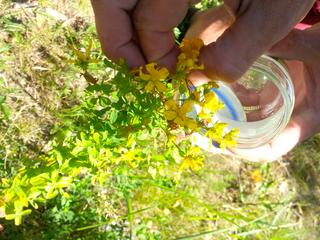 Recolectar aromáticas y plantas medicinales