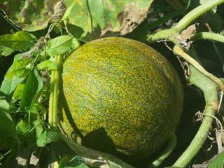 Cultivo del melón en el huerto