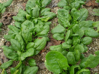 Cómo Cultivar Espinaca