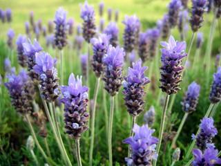 Plantas aromáticas para el huerto urbano