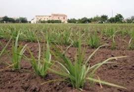 Como cultivar chufa