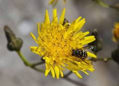 avispa flor